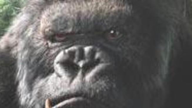 Přichází King Kong - potřetí